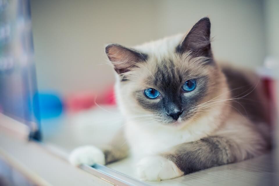 ラグドールという種類の猫