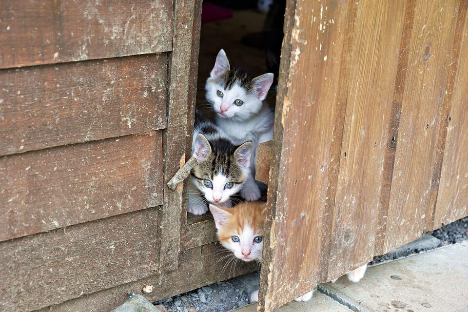 ドアのすき間から顔を出す3匹の猫